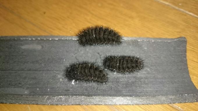 ギフチョウ前蛹11
