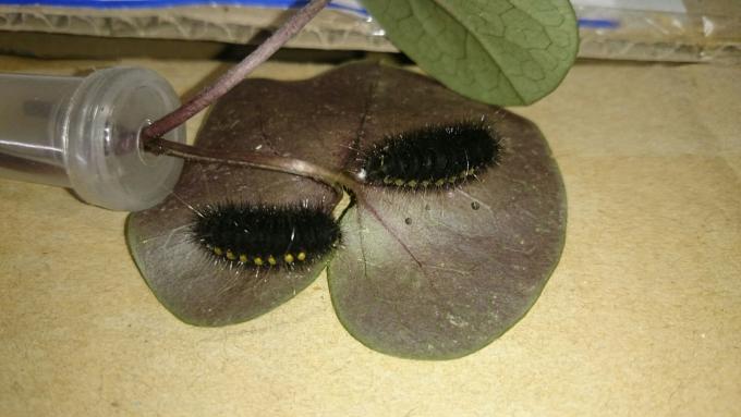 11ヒメギフチョウ前蛹