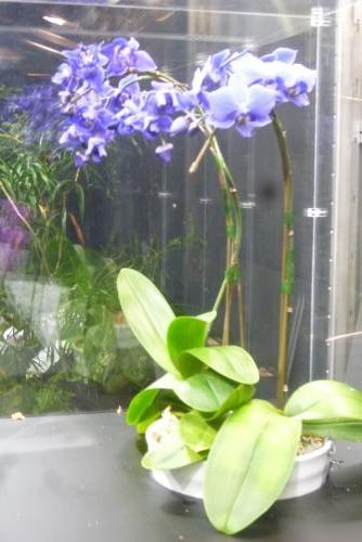 手柄山温室植物園(青いコチョウラン)