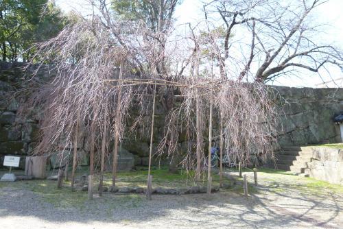 お城 枝垂桜