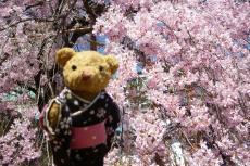 お城 枝垂れ桜とベァー