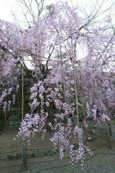 お城 枝垂れ桜