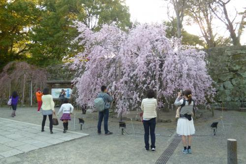 お花見(枝垂れ桜)