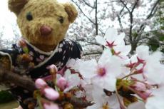 河西公園 桜とベァー