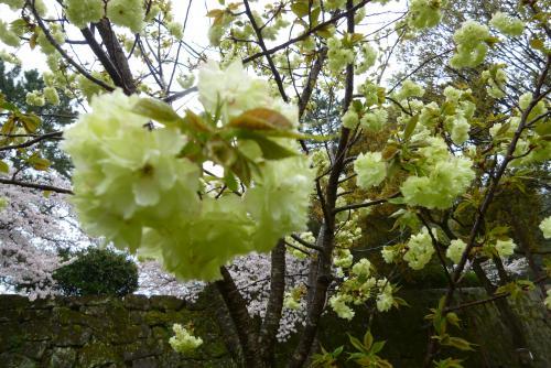 お城 桜(きみどり)