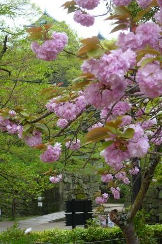 お城 (牡丹桜)