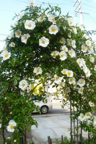 みっちゃんの庭 ナニワイバラ