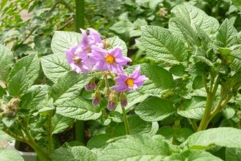 jジャガイモの花