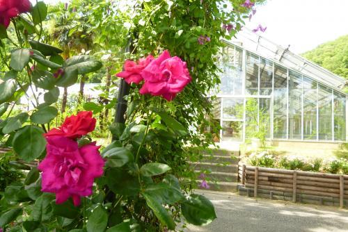 緑花センター ばら