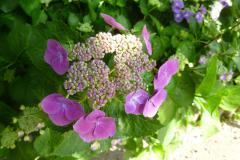 緑花センター 紫陽花