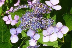 紫陽花 (港公園)