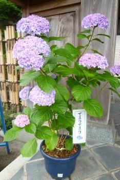 救馬渓観音さん (紫陽花)