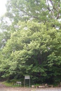 菩提樹の木
