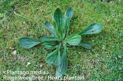 Plantago media Daro col 03 Ruige weegbree
