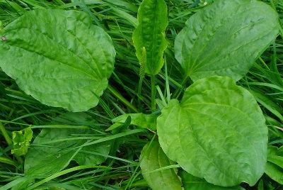 Plantago major 03-2-2 Grote weegbree