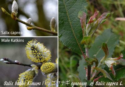 Salixs caprea and Bakko col 01