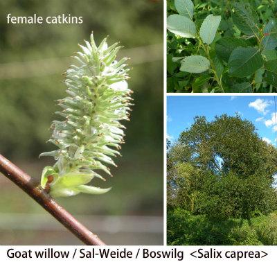 Salix caprea mannelijk 130412 c