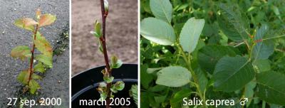 Salix caprea col 030.