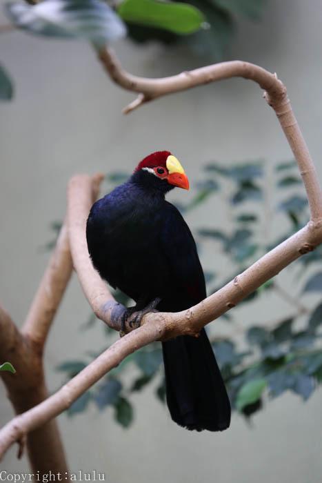 上野動物園 ニシムラサキエボシドリ