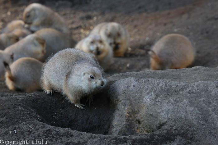 オグロプレーリードッグ 江戸川区自然動物園