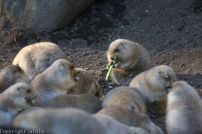 オグロプレーリードッグ 動物園