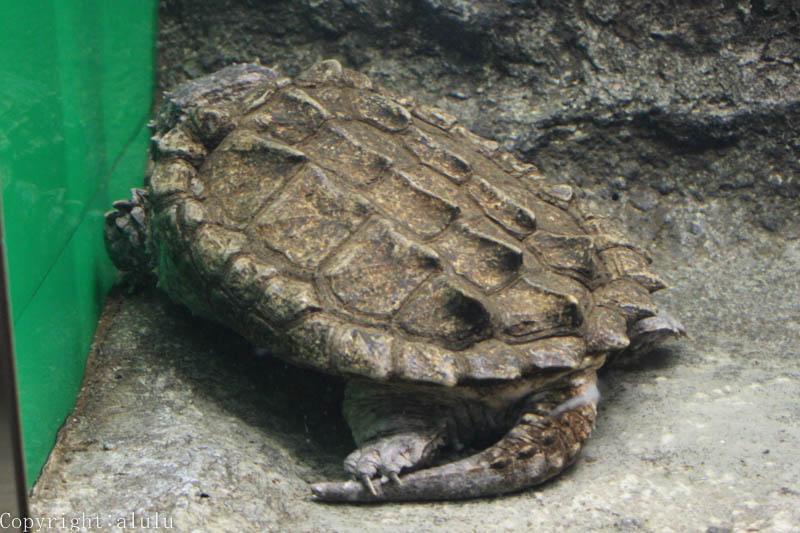 日本平動物園 爬虫類館 ワニガメ