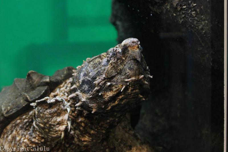 日本平動物園 ワニガメ