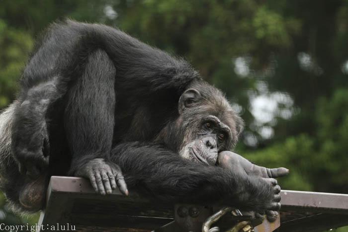 チンパンジー さる