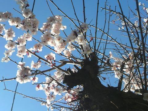 2015梅満開