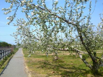 H27りんごの花のふるさと