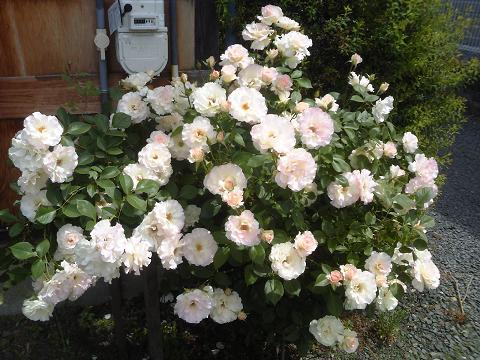 H2705バラが咲いた