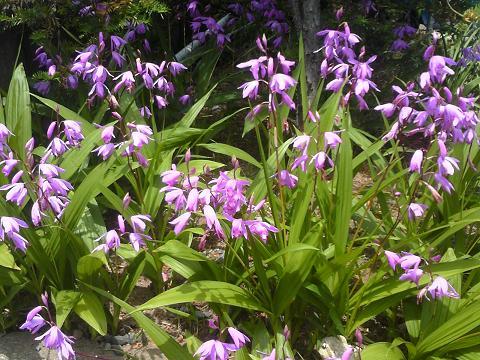 H27年初夏紫蘭