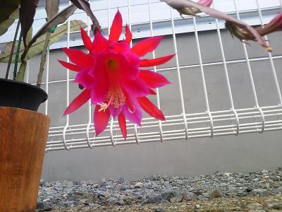 孔雀サボテンの花