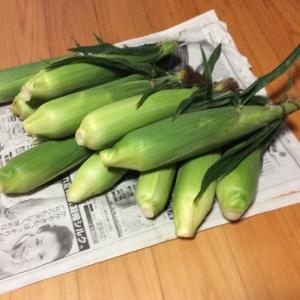 スイートコーン収穫