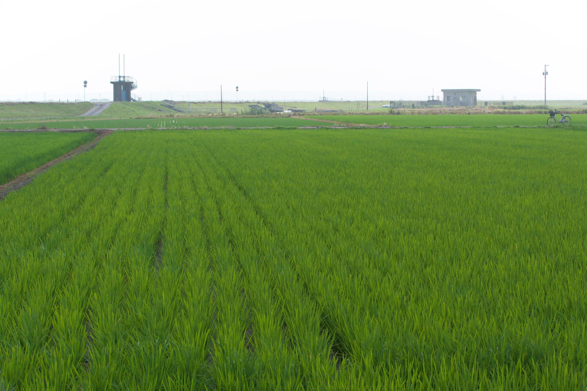 常陸川沿い、緑の絨毯