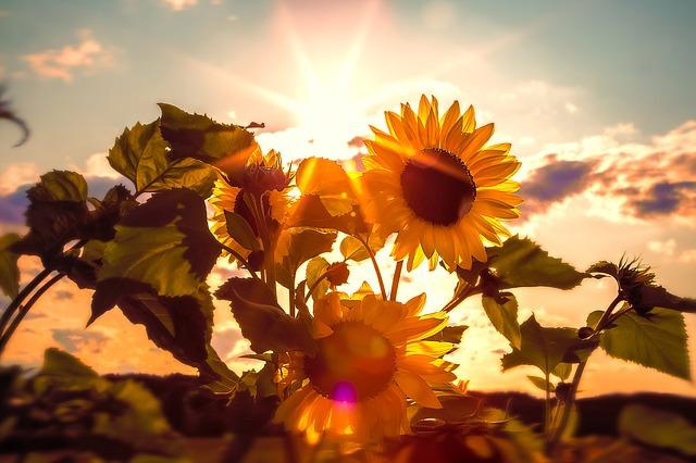 sun-flower-591076_640.jpg