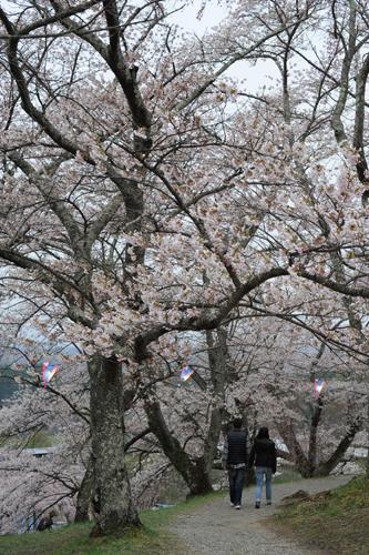滝桜の裏山
