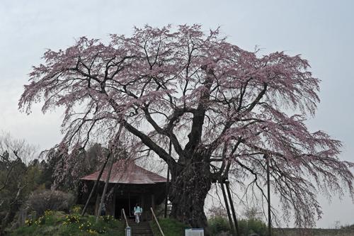 中田町不動桜