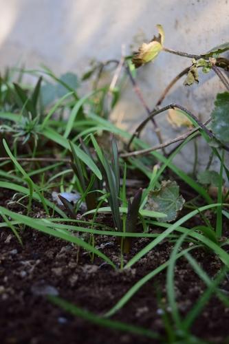 原種チューリップ 発芽