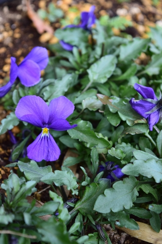 ビオラ コルシカ 開花