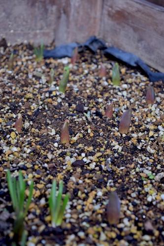花壇(日当たりいい)チューリップ