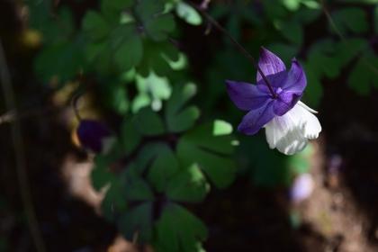 二色咲きオダマキ