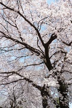 ③前玉神社の桜