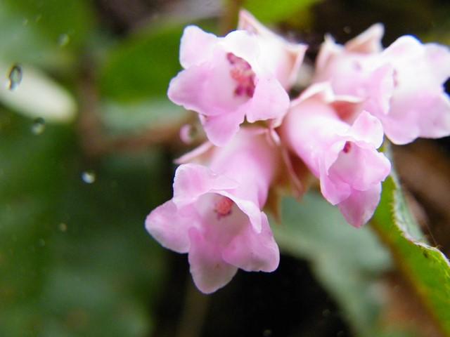 130420_イワナシの花[1]