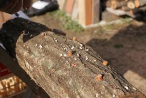 150317椎茸の菌うち1