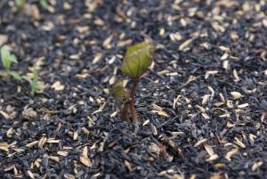 150418さつまいもの芽1