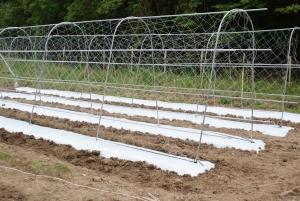 150530トマトのソバージュ栽培1