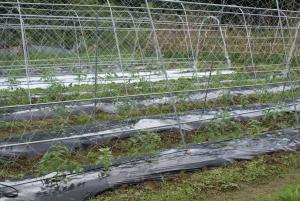 150620トマト圃場1