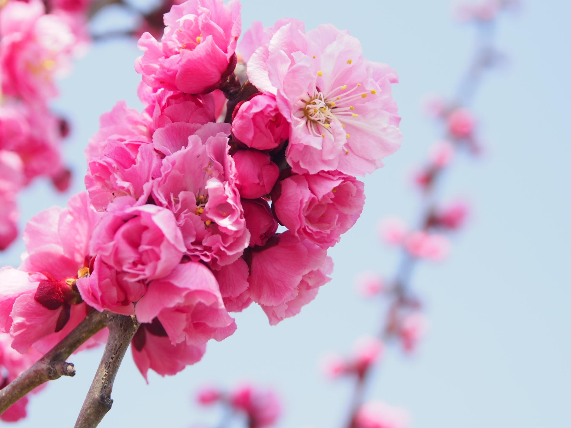hongmei-flower-20150429.jpg