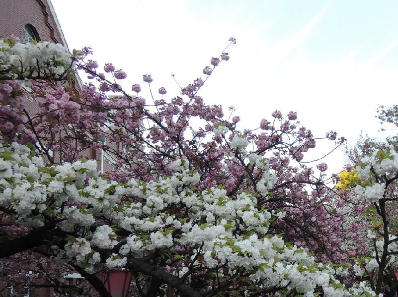 桜の花枝のアーチ